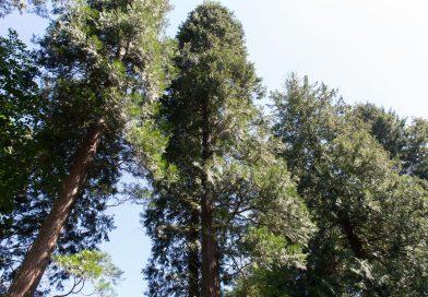 Urwaldbäume Weinheim