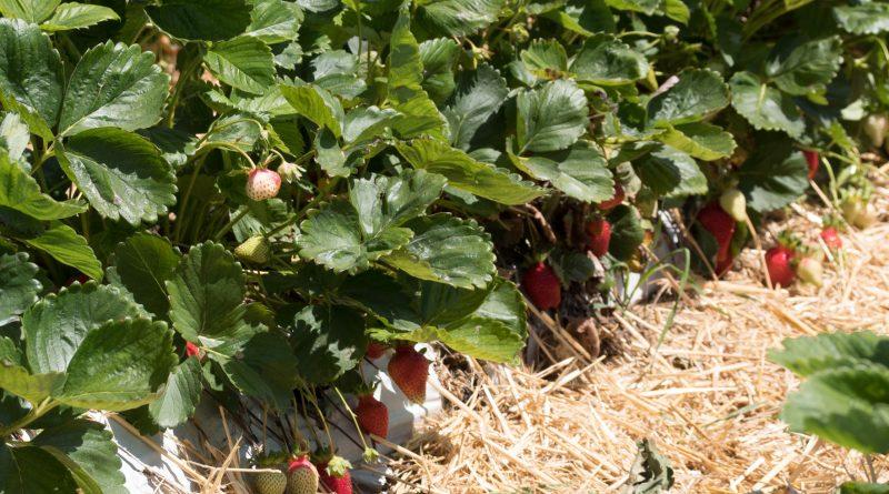 Erdbeeren vom Feld